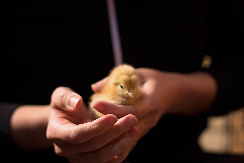 baby-chicks-2015-2