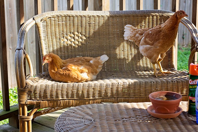 garden-and-chickens-13