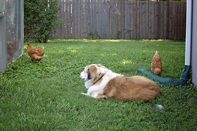 garden-and-chickens-16