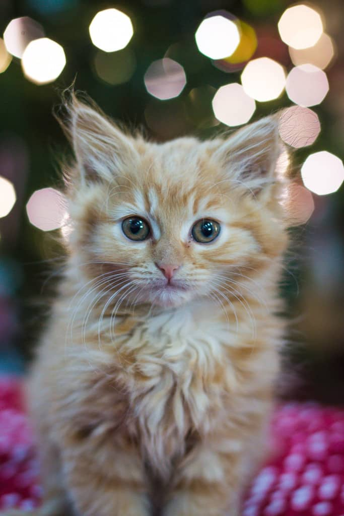 Cute Christmas Kitten by the Christmas tree!!!