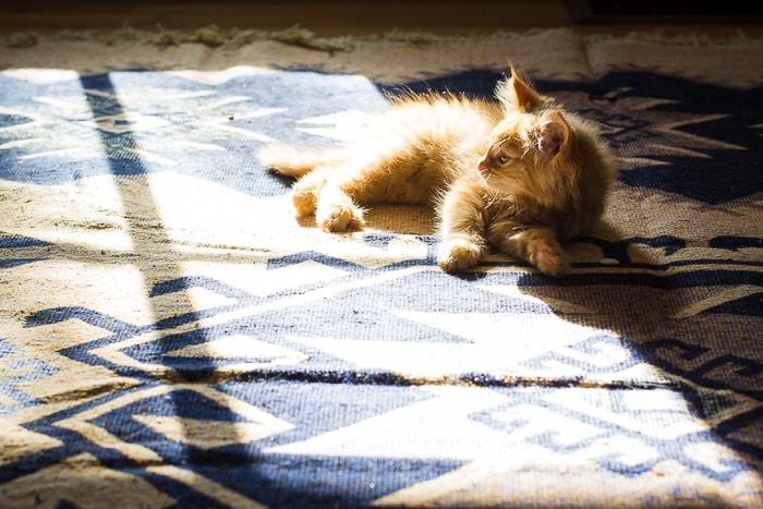 orange tabby cat-1